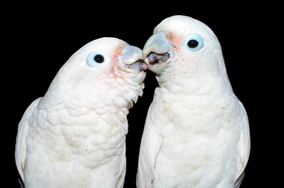 how to train goffin cockatoo