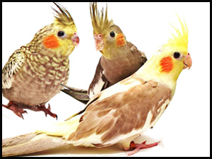 Find Hand-raised Baby Cockatiels at Parrots & Company - November, 2016