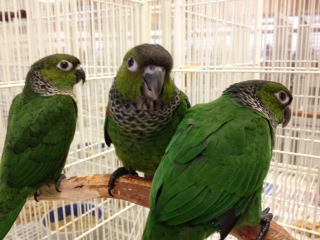 Baby Black-capped Conures