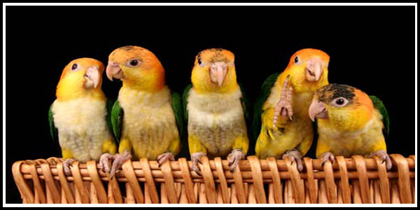 Baby White-bellied Caiques @ Parrots & Company 6-05-16